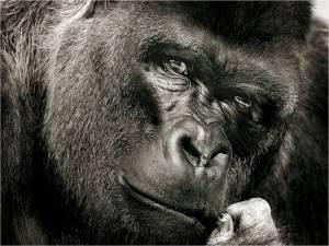 Gorilla gazing